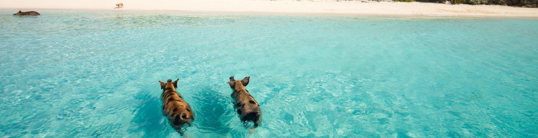 Zwem met biggetjes op de Bahamas