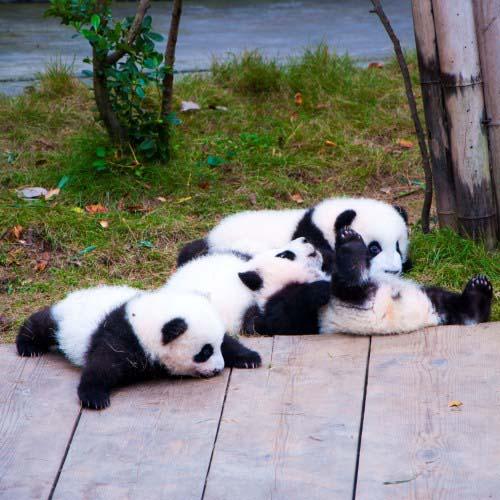panda-grid