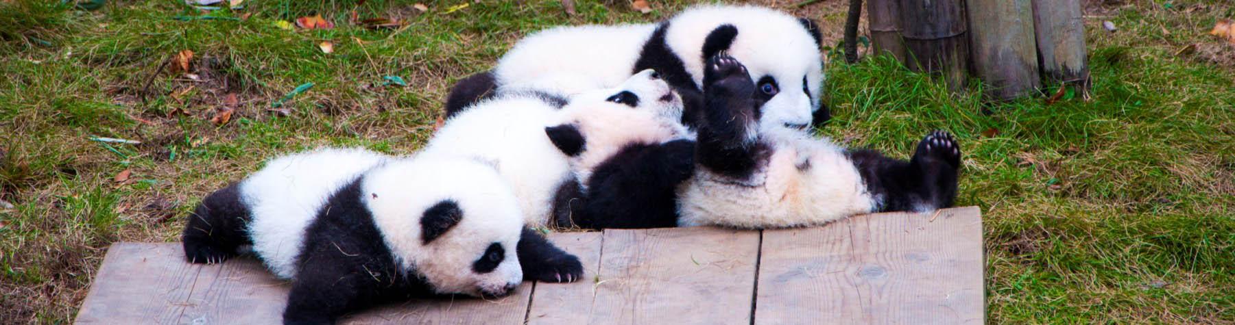 Bekijk (baby)panda's in Chengdu